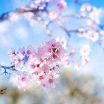 Flor de cerezo, símbolo de la primavera